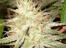 White_Widow